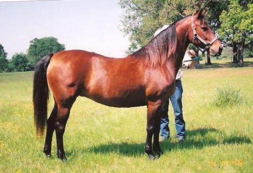 A Madison Morgan Horse