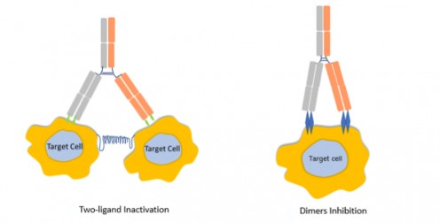 Mechanism of action of bispecific antibodies