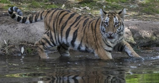 A Bengal tiger cub named Moka is recovering at San Diego Zoo Safari Park after undergoing emergency surgery.