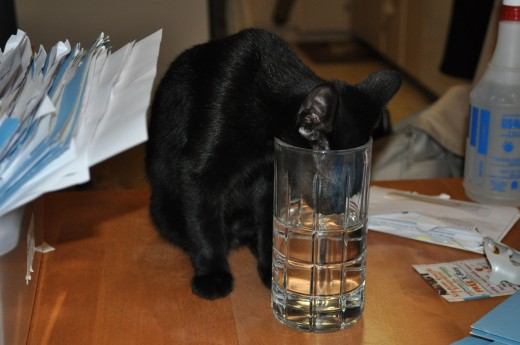 Here is Shadow being naughty.  Not only is he on the table, but he is drinking from my wife, Sondra's, water glass.  She insists that he knows which glass is hers and that he prefers it to his water bowl.