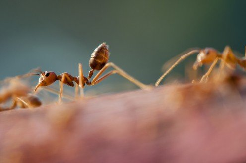 Small Ant