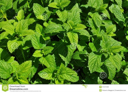 The fragrant Spearmint or Peppermint plant is the first choice among many