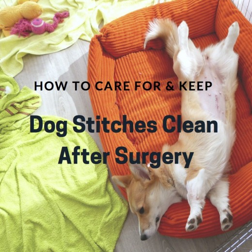 How To Care For And Keep Dog Stitches Clean After Surgery