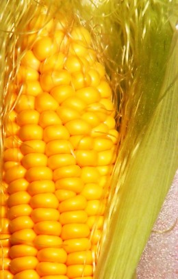 Corn, just one grain that biodegradable litter is made from.
