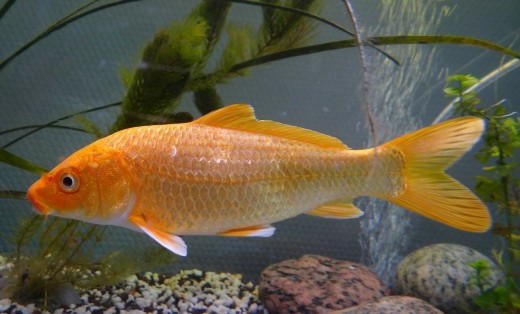 Koi fish are pretty and interesting to watch, but they are known to jump out of their pond.