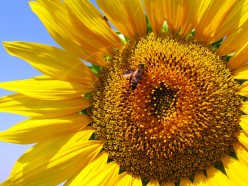 Magnificent Sunflowers – Beautiful and Healthy