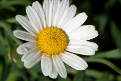 Herbal Remedies: The Chamomile Flower