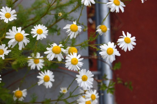 A cluster of Chamomile flowers growing up a fence. Sometimes they can intertwine with the fence wiring, making them look kind of creepy.