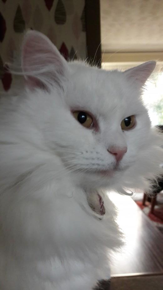 Beautiful white Turkish swimming cat.
