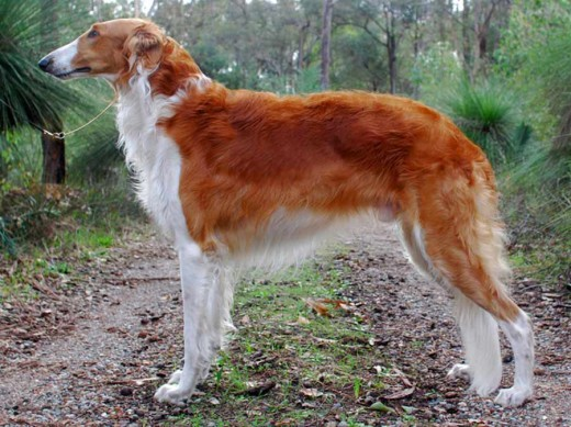 Borzoi with beautiful copper-red coat. The name Copper could would wonderfully.