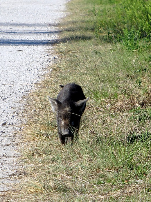 I shot this wildlife image of a wild Boar shoat walking alongside the Wading Bird Way trail at the Circle B Bar Reserve. ©  2018 By Chris Mercer