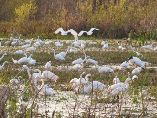 This is photo of mostly Great Egrets feeding in the Marsh next to the Heron Hideout Trail at the Circle Bar Reserve. ©  2018 By Chris Mercer