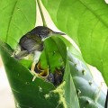 Tailorbirds:  Songbirds, Skilled Homemakers and Loving Protectors of Their Young