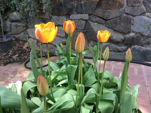The stems are about 25 inches tall from ground to petal tips. Being in a raised container gives a better view of their classic tulip shape.