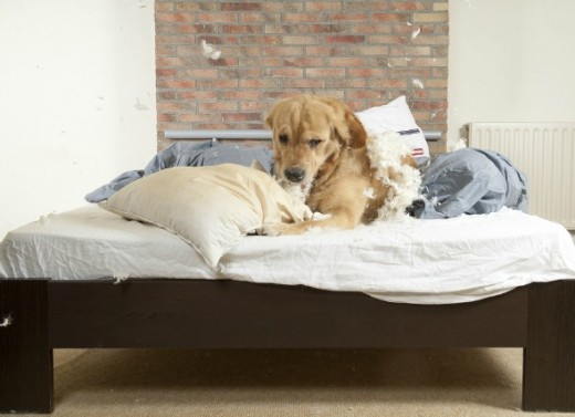 Some pets enjoy chewing up pillows and other soft things around the home.