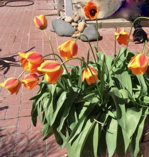 Recovering tulips.