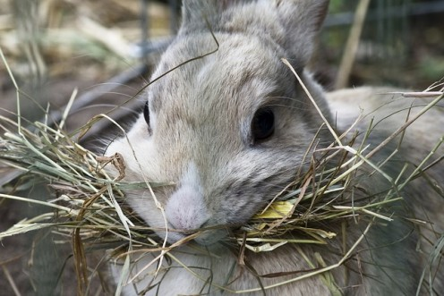 Rabbits need plenty of hay each day.