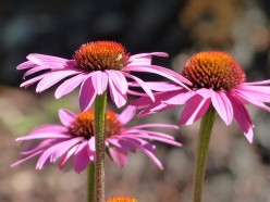 Echinacea: An Herbal Immunity Boost – Worth Your Time or Not?