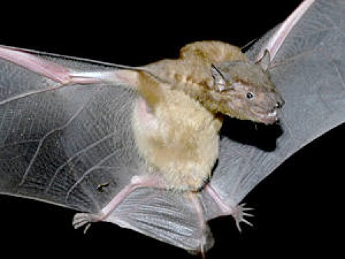 Asian Lesser Yellow Bat
