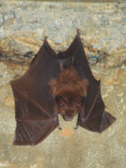 Hollow-faced Bat at roost