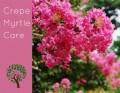 Proper Pruning of Crepe Myrtles