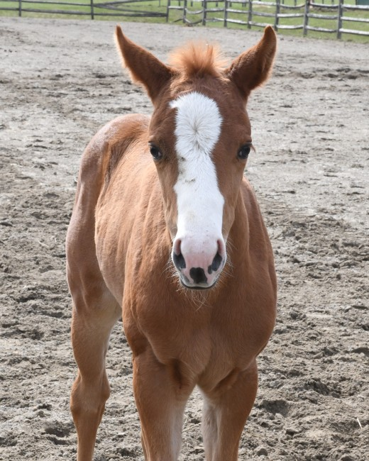 Meet Luna, the three-week old filly at Four Seasons Equestrian Arts Center.