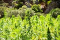 3 Hemp and Marijuana Stocks to Keep an Eye On