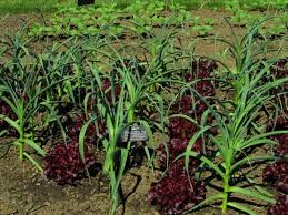 Lettuces interplanted with Garlic.