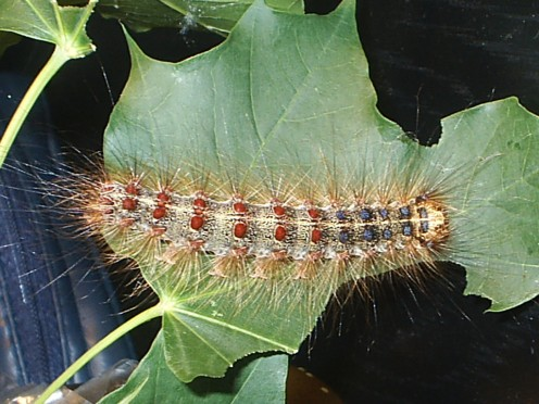 Gypsy Moth Invasions and the Odyssey of Biological Control