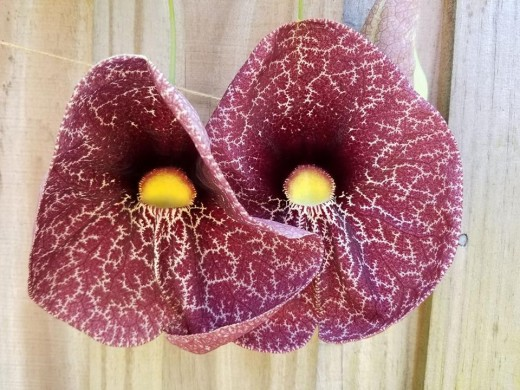 The pipevine is a butterfly host plant and produces extraterrestrial-like blooms.