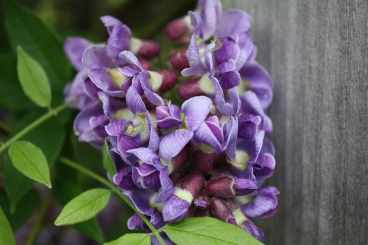 Wisteria blooms in light to dark purple hues and grows well in north and central Florida gardens.