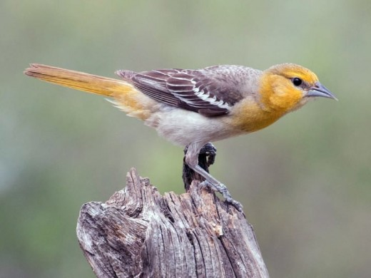 Female Bullock's orioles are washed in gray and a pale orange and are much less vibrant than the males.  They remain paired up throughout the breeding season but may find other mates in later years.