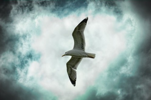How high can a seagull fly?