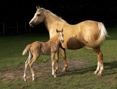 A Palomino Mare with Foal
