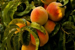 Learn More About Peaches - Easy Recipes