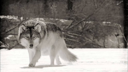 This wolf pictured here standing in the snow symbolizes the band's focus on including wolves on their album covers. This wolf is standing in the snow looking out in the distance for food perhaps?