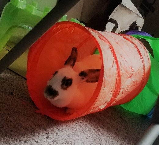 Eleanor enjoying her cat tunnel.
