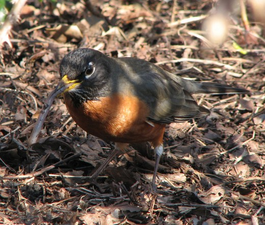 An American Robin eating a worm.