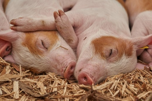 Pigs are one of the most common farm animals who is usually given with antibiotics.