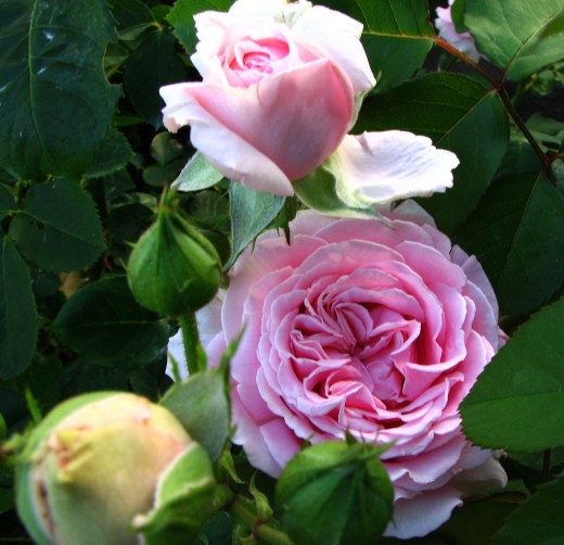 My favorite pink Grandiflora Roses in my garden.