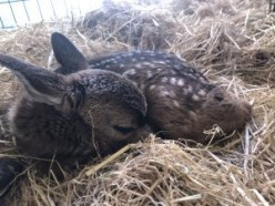 Wildlife Officials Warn About 'Rescuing' Young Deer, Other Wild Animals