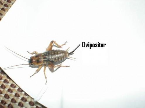 Ovipositor photos 39