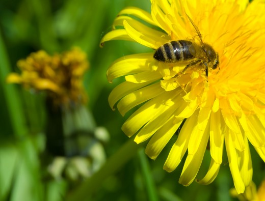 Dandelions are a free, wild source of greens, rich in calcium and other nutrients.
