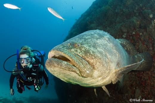 Goliath Grouper Fish