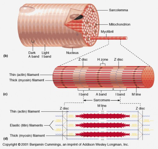 Anatomy of fast twitch and slow twitch muscle fibers