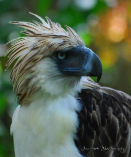 The Philippine Eagle (http://images.world66.com/ph/il/ip/philippine_eagle_1_galleryfull)