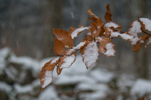 Snow on Leaves