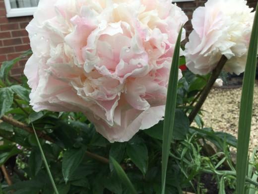Peonies in my garden are beautiful but sneeze inducing