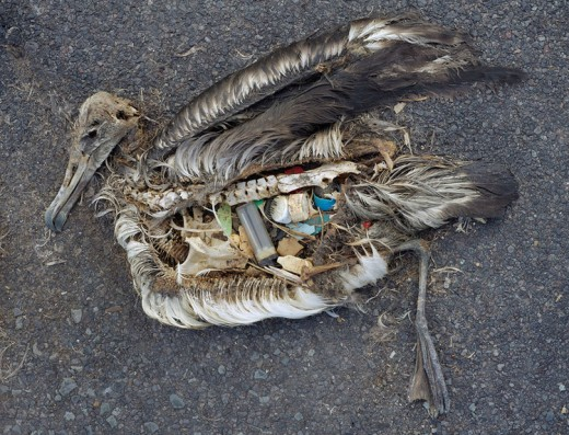 Several species of animals are becoming endangered due to plastic consumption. It is estimated that of the 1.5 million Laysan Albatross birds that inhabit Midway, all of them have plastic waste in their digestive system.