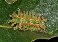 Stinging Caterpillars Identification and Guide